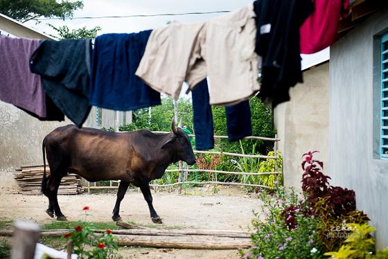 cow walking through residential Puerto Plata