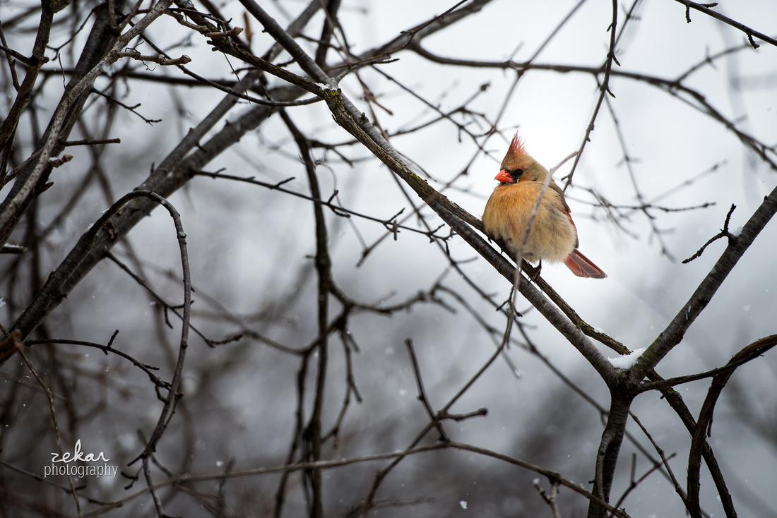 winter birds in ontario