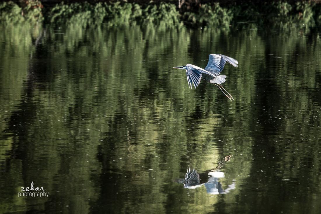 blue heron landing on water