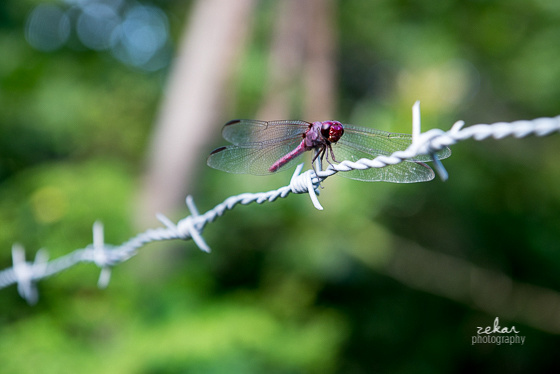 dragonfly on barbed wire