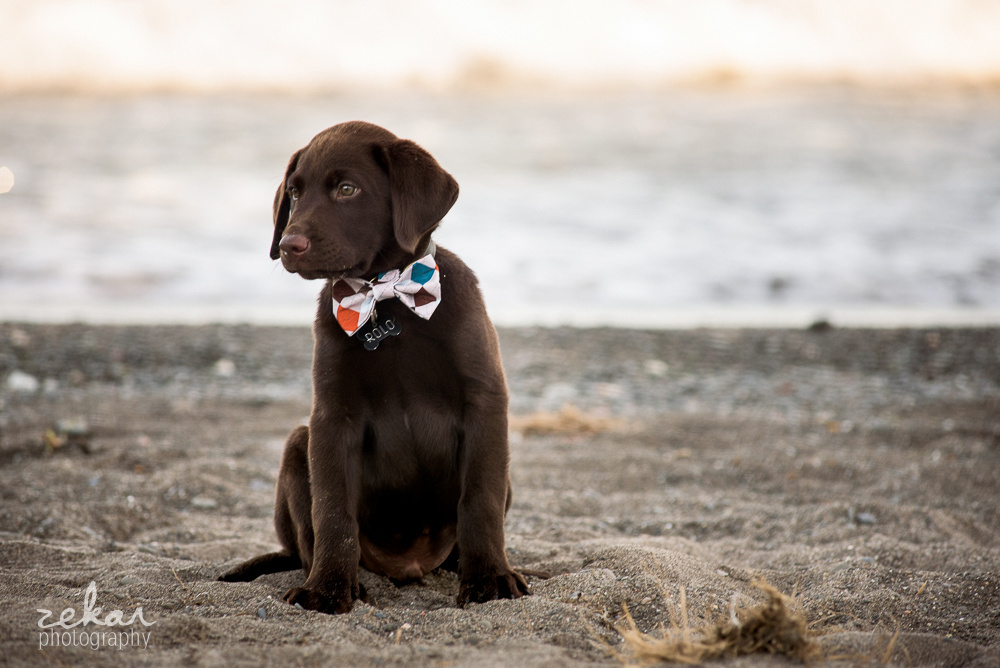 puppy in bow tie posing on beach