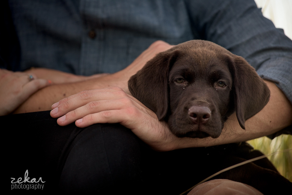 chocolate lab in dads arms