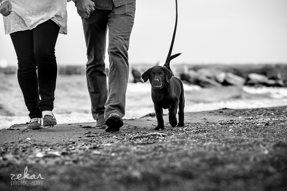 chocolate lab walking down beach