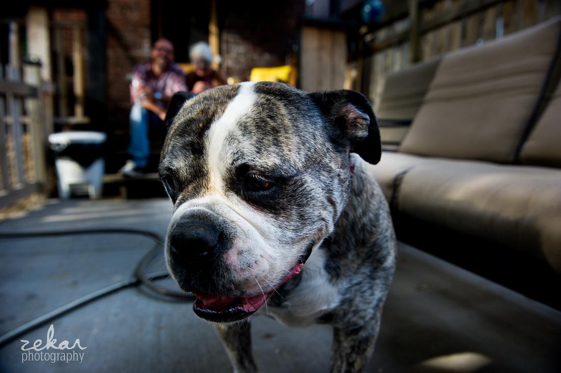 close up of old bulldog